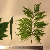 LeafMorph